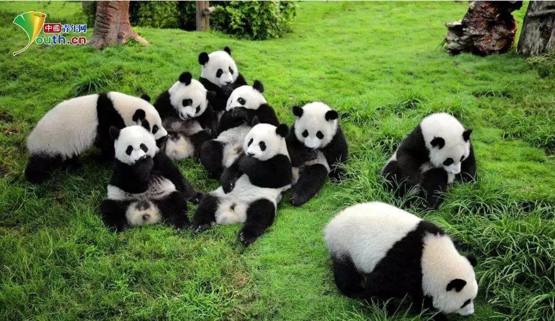 壁纸 大熊猫 动物 1080_626